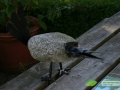 kwekerij-amsterdamscheveld-vogels-36